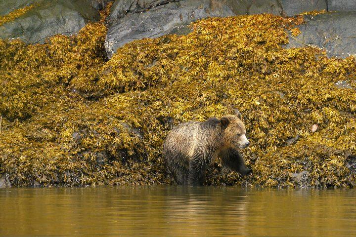 Grizzly beim Baden