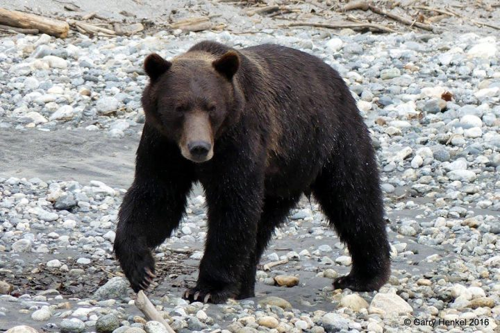 Grizzly am Strand