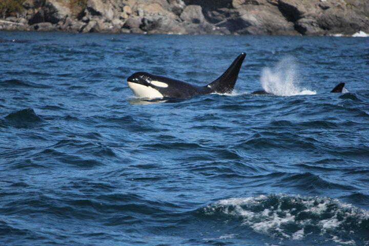 Orca mit Jungem