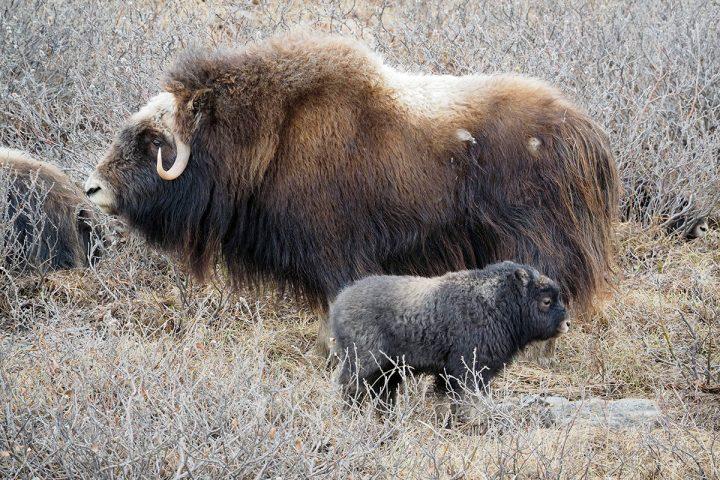 Mufflonfamilie