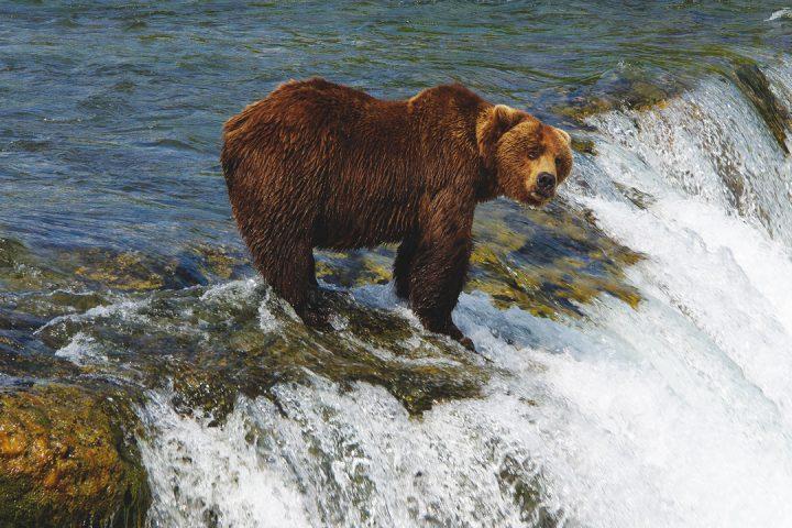 Grizzly steht ueber dem Wasserfall