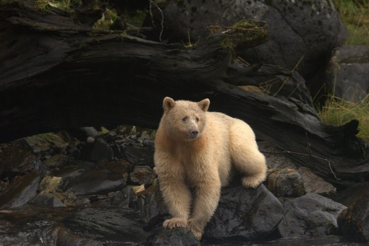 Spirit Bear ruht sich auf Felsen aus