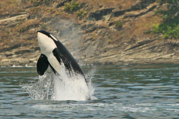 Orca springt aus dem Wasser