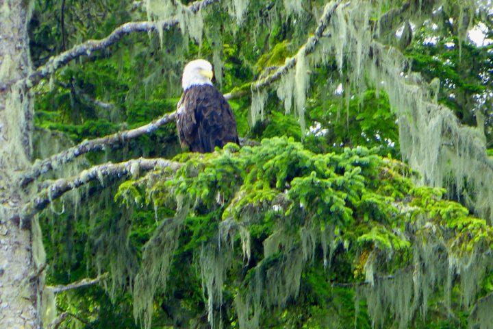 Adler im Baumwipfel