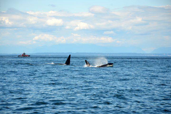 Orcas vor Vancouver Island