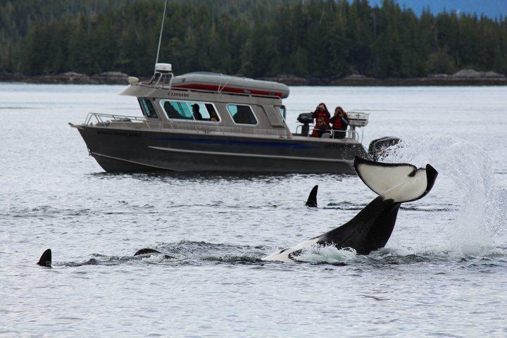 Orca taucht ab mit Boot davor